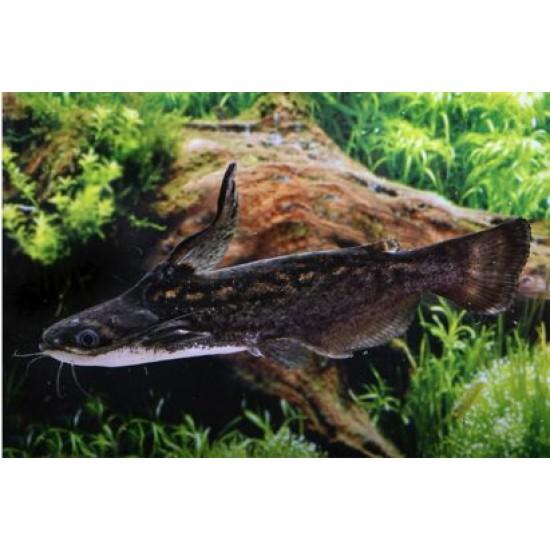 Фото Сом Фишера (Trachelyopterus fisheri) - 5-6см Смотреть