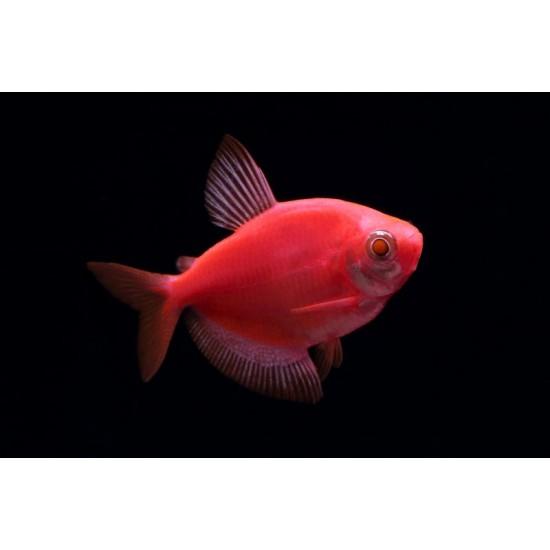 Фото Тернеция глофиш GloFish красная алая (Gymnocorymbus ternetzi) - 2-3см labeo.com.ua