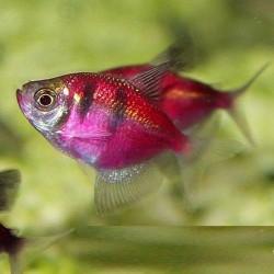 Тернеция глофиш GloFish полосатая (Gymnocorymbus ternetzi) - 2-3см