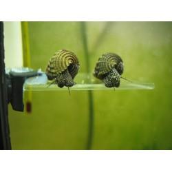 Тиломелания белая/желтая точка (Tylomelania rabbit snail) - 0,7-1см
