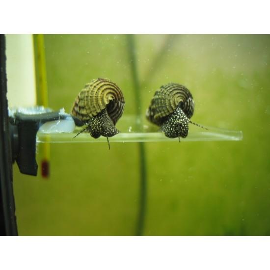 Фото Тиломелания белая/желтая точка (Tylomelania rabbit snail) - 0,7-1см Купить