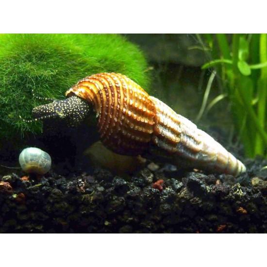 Фото Тиломелания желтая точка (Yellow flack rabbit snail) - 6-7см Смотреть