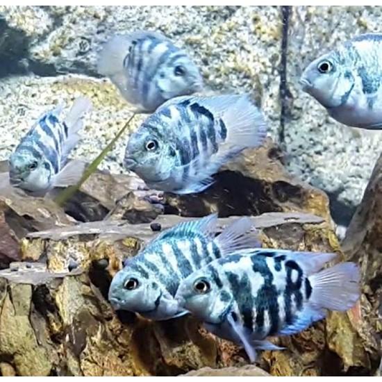 Фото Трехгибридный попугай синий тигр (Hybrid cichlid) - 3-3,5см Смотреть