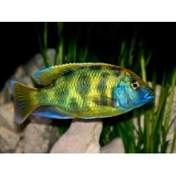 Венустус леопардовый (Nimbochromis venustus) -5-6см