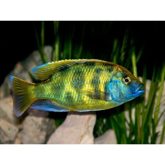 Фото Венустус леопардовый (Nimbochromis venustus) -5-6см Купить