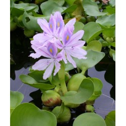 Водный гиацинт эйхорния куст