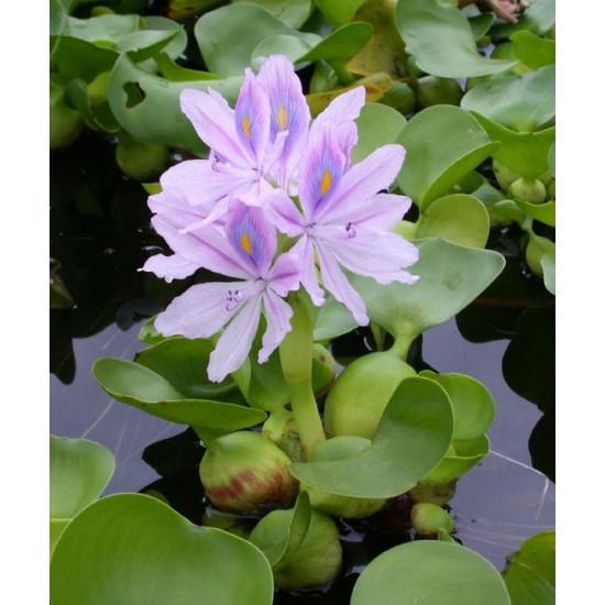 Фото Водный гиацинт эйхорния куст Купить
