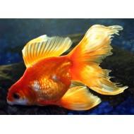 Вуалехвост красный, красно-белый (Carassius auratus) - 7см