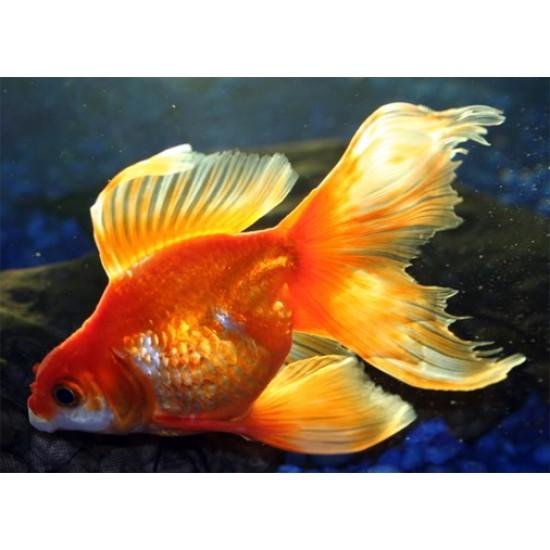 Фото Вуалехвост красный, красно-белый (Carassius auratus) - 7см Смотреть