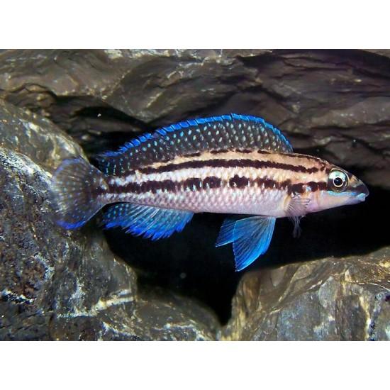 Фото Юлидохромис Дикфельда (Julidochromis dickfeldi) - 3-4см labeo.com.ua