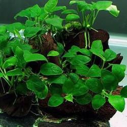 Аквариумные растения - оптовая продажа по доступным ценам.