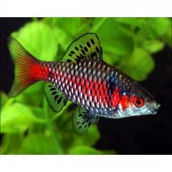 Карповые аквариумные рыбки - оптовая продажа по доступным ценам.