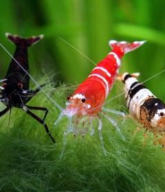 Ракообразные (креветки, крабы, раки)