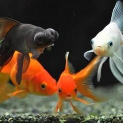 Золотые рыбки - оптовая продажа по доступным ценам.