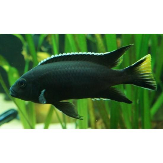 Фото Аки черный (Pseudotropheus spec. 'acei black ') - 2,5-3см Смотреть