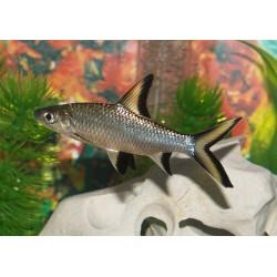 Акулий балу (Balantiocheilos melanopterus) - 4см