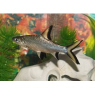 Акулий балу (Balantiocheilos melanopterus) - 5-5,5см