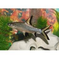 Акулий балу (Balantiocheilos melanopterus) - 6-7см