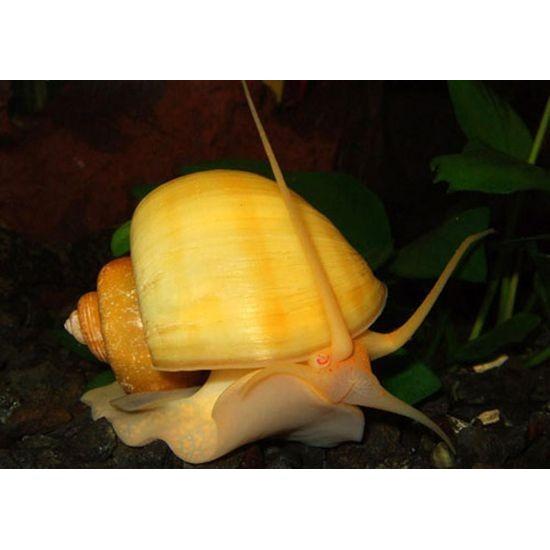 Фото Ампулярия зеленая\желтая (Ampularia sp.) - 1-1,5см labeo.com.ua