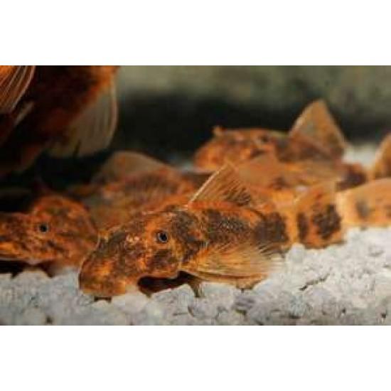 Фото Анцитрус красно-черный LDA16 (Ancistrus dolichopterus) - 2-3см Смотреть