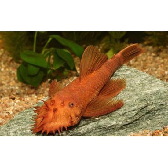 Фото Анцитрус красный (Ancistrus dolichopterus red) - 2,5-3см labeo.com.ua