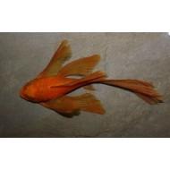 Анцитрус красный вуалевый (Ancistrus dolichopterus red) - 3см