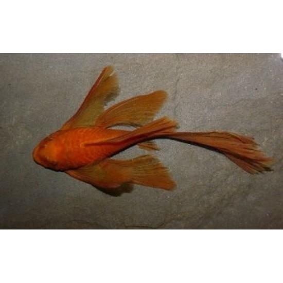 Фото Анцитрус красный вуалевый (Ancistrus dolichopterus red) - 3см labeo.com.ua