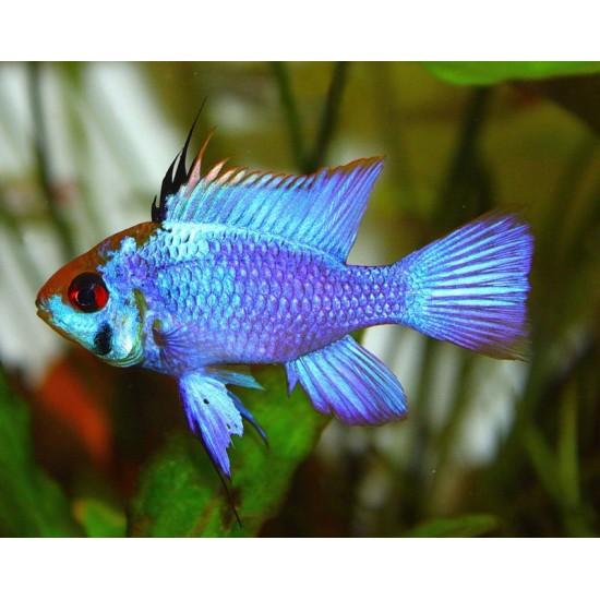 Фото Апистограмма голубая неоновая (Apistogramma Electric Blue) - 2см Смотреть