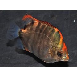 Аргус красный (Scatophagus Argus red) - 9-10см