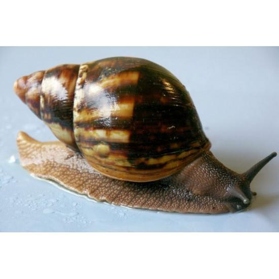 Фото Архахатина маргината сутуралис (Archachatina marginata suturalis) - 3-4см Купить