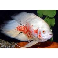 Астронотус альбинос вуалевый разводной (Astronotus ocellatus) 3-4см