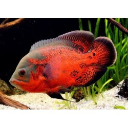 Астронотус красный оскар разводной (Astronotus ocellatus) - 5см