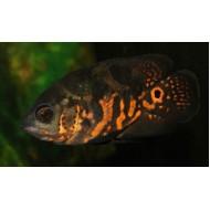 Астронотус тигровый разводной (Astronotus ocellatus) - 3-4см