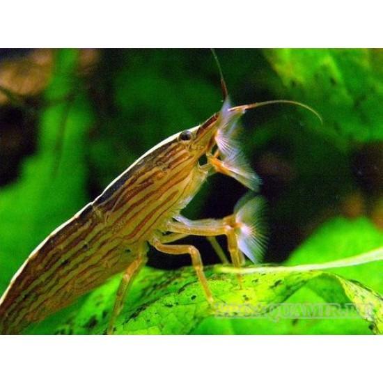 Фото Банановый фильтратор (Atyopsis moluccensis) - 6см Смотреть