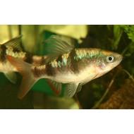 Барбус арулиус (Barbus arulius) - 3-4см