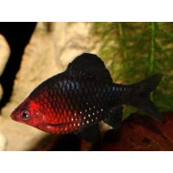 Барбус черный (Puntius nigrofasciatus) - 2см