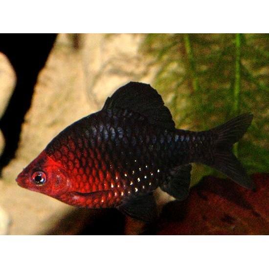 Фото Барбус черный (Puntius nigrofasciatus) - 3-4см Смотреть