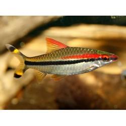 Барбус денисони (Puntius denisonii) - 3,5-4см