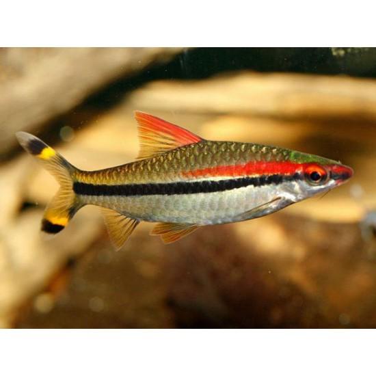 Фото Барбус денисони (Puntius denisonii) - 3,5-4см labeo.com.ua