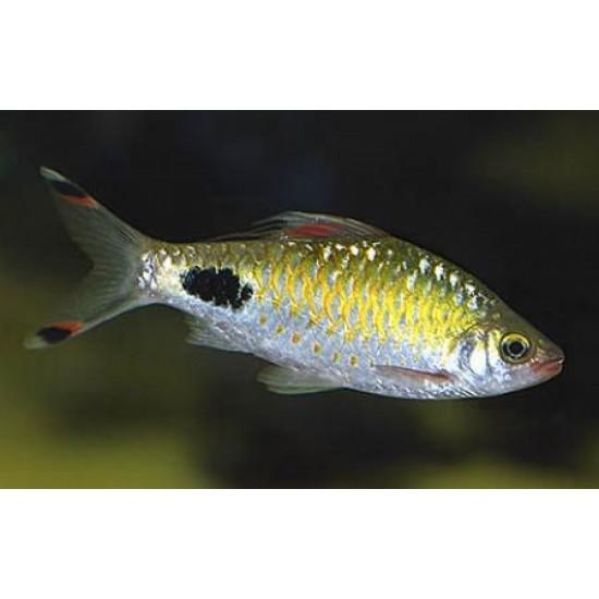 Фото Барбус филаментоза (Barbus filamentosus) - 4см Смотреть