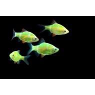 Барбус глофиш зеленый (Puntius tetrazona Glofish) - 2-3см