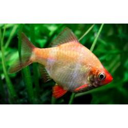 Барбус кольти (Puntius tetrazona) - 2,5-3см