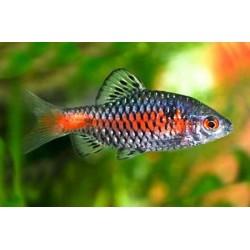 Барбус одесский (Barbus odessa) - 2,5-3см