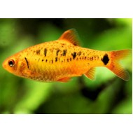 Барбус шуберта (Barbus semifasciolatus `schuberti`) - 2-3см