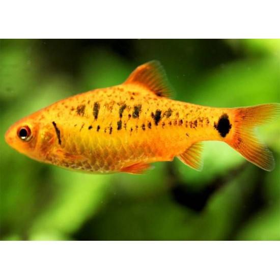 Фото Барбус шуберта (Barbus semifasciolatus `schuberti`) - 2-3см Купить