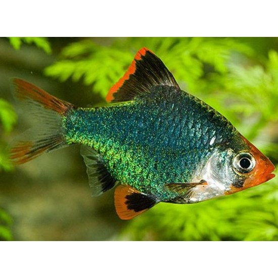 Фото Барбус суматранский мутант (Puntius tetrazona var. Green) - 3-3,5см Купить