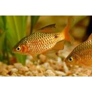 Барбус золотой (Barbusconchonius) - 2,5-3см