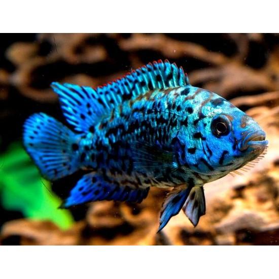 Фото Блю демпси (Cichlasoma sp Blue Dempsey) - 4см labeo.com.ua