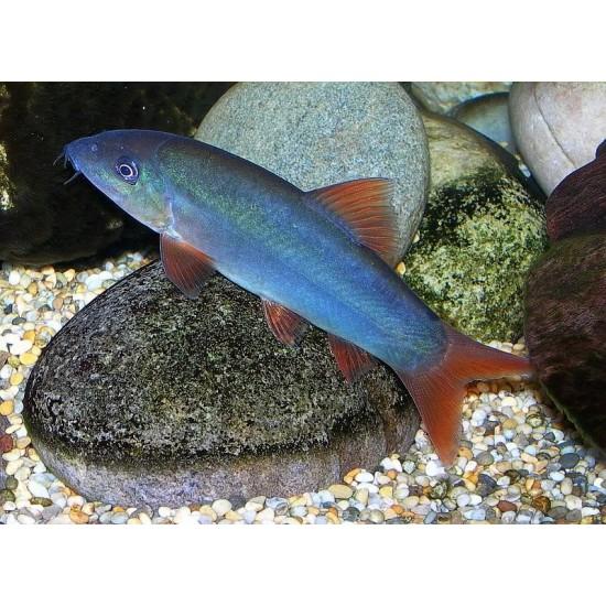 Фото Боция модеста синяя (Botia modesta) - 6см Купить
