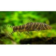 Боция стриата (Botia striata) - 5см
